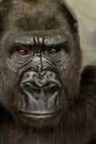 Giovane gorilla di Silverback Fotografia Stock