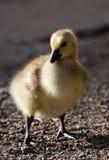 Giovane Gosling fotografia stock libera da diritti