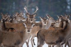 Giovane grande cervus elaphus dei cervi, profondità di campo dedicata, circondata dal gregge Un gregge dei cervi, stante nella fo fotografia stock