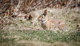 Giovane grande coniglio della coda del cotone in un campo in molla molto in anticipo Immagini Stock