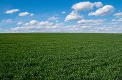 Giovane grano Fotografie Stock