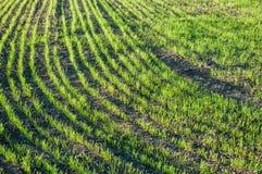Giovane grano nel campo Immagini Stock Libere da Diritti