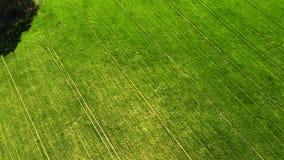 Giovane grano verde o campo ventoso di variet? del grano dalla vista aerea del fuco video d archivio