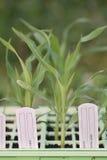 Giovane granoturco dolce che germina in un seedtray. Fotografie Stock