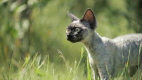 Giovane Gray Devon Rex Kitten In Green Grass divertente Cat Of English Breed dai capelli corti Movimento lento, Slo-Mo video d archivio