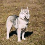 Giovane Gray Husky Puppy Dog divertente Fotografie Stock