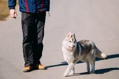 Giovane Gray Husky Puppy Dog divertente Immagine Stock