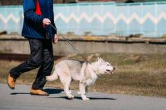 Giovane Gray Husky Puppy Dog divertente Immagine Stock Libera da Diritti