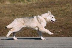 Giovane Gray Husky Puppy Dog divertente Immagini Stock