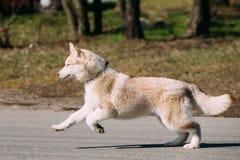 Giovane Gray Husky Puppy Dog divertente Fotografia Stock Libera da Diritti