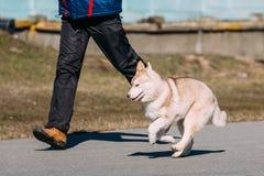 Giovane Gray Husky Puppy Dog divertente Fotografia Stock