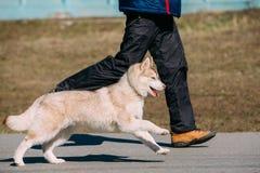 Giovane Gray Husky Puppy Dog divertente Immagini Stock Libere da Diritti