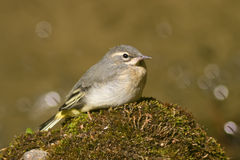 Giovane Grey Wagtail Immagine Stock