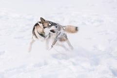 Giovane Husky Dog Play, funzionamento all'aperto in neve, inverno Immagine Stock Libera da Diritti