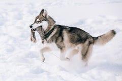 Giovane Husky Dog Play, funzionamento all'aperto in neve, inverno Fotografia Stock