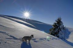 Giovane husky nell'inverno fotografie stock libere da diritti