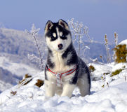 Giovane husky siberiano immagini stock