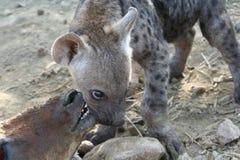 Giovane hyena Fotografie Stock