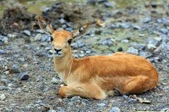 Giovane Impala Fotografie Stock