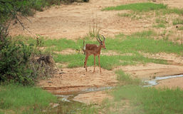 Giovane impala al parco nazionale di Kruger Fotografie Stock Libere da Diritti