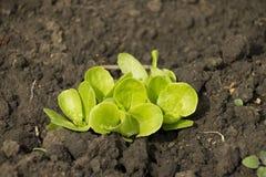 Giovane insalata verde fresca sulla terra fotografia stock