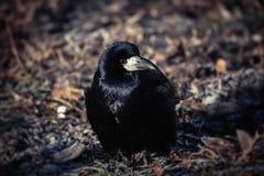 Giovane inverno nero LIFE-Nature freddo del corvo fotografie stock