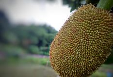 Giovane jackfruit Fotografia Stock