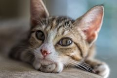 Giovane KittyKat Fotografia Stock Libera da Diritti