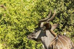 Giovane Kudu che mastica le foglie Fotografie Stock Libere da Diritti