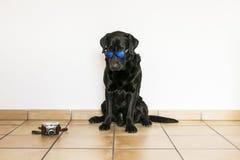 Giovane labrador retriever nero adulto isolato su backgroun bianco Fotografia Stock Libera da Diritti