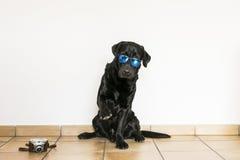 Giovane labrador retriever nero adulto isolato su backgroun bianco Immagine Stock Libera da Diritti