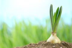 Giovane lampadina del giacinto con terreno Fotografie Stock Libere da Diritti