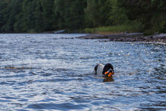 Giovane landeer che gioca con un giocattolo arancio luminoso in un lago Immagine Stock