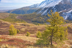 Giovane larice giallo contro lo sfondo di un paesaggio della montagna di autunno Fotografia Stock