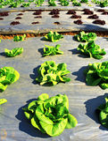Giovane lattuga verde Fotografia Stock