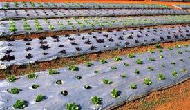 Giovane lattuga verde e rossa Immagine Stock