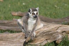 Giovane Lemur Fotografia Stock Libera da Diritti