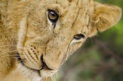 Giovane leone Fotografie Stock Libere da Diritti