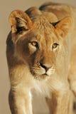 Giovane leone africano Immagini Stock