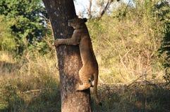 Giovane leone che scala un albero Immagine Stock