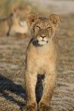 Giovane leone diritto Immagine Stock Libera da Diritti