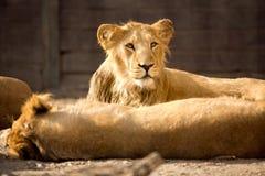 Giovane leone durante il resto di pomeriggio fotografia stock libera da diritti