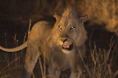 Giovane leone durante il safari di notte nel parco nazionale del sud di Luangwa fotografia stock