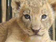 Giovane leone, esaminante lo Immagine Stock