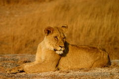 Giovane leone femminile Fotografia Stock