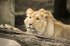 Giovane leone maschio Fotografia Stock
