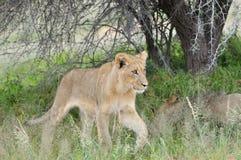 Giovane leone nella Kalahari Immagini Stock