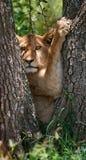 Giovane leone su un albero Sosta nazionale kenya tanzania Masai Mara serengeti Fotografia Stock