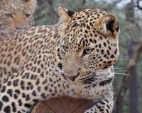 Giovane leopardo Fotografie Stock