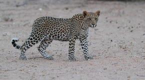 Giovane leopardo Fotografia Stock